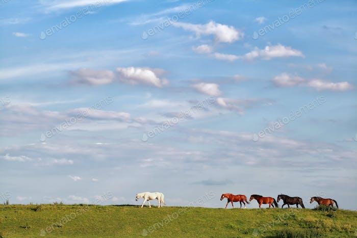 paar Pferde folgen weißem Pferd