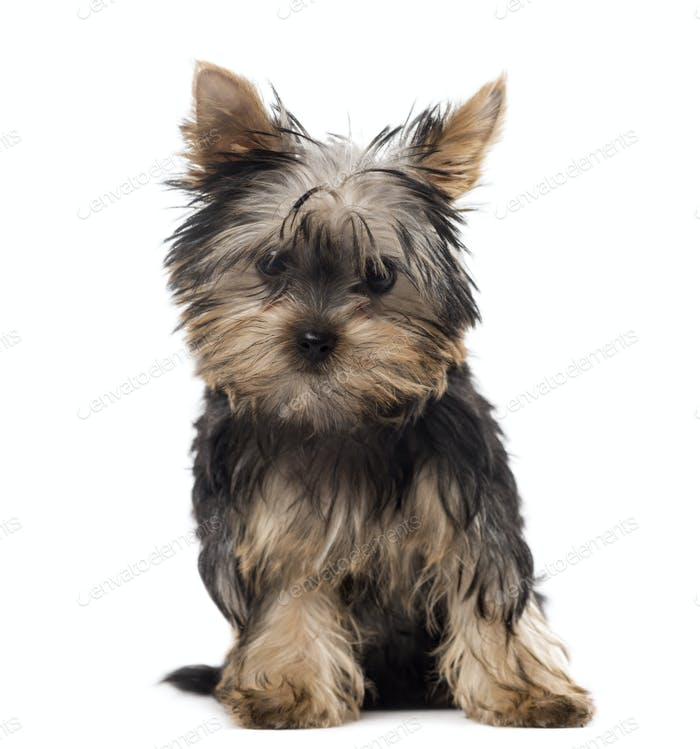 Yorkshire puppy sitting in front of a white background