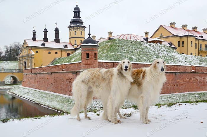 Two standing russian wolfhounds