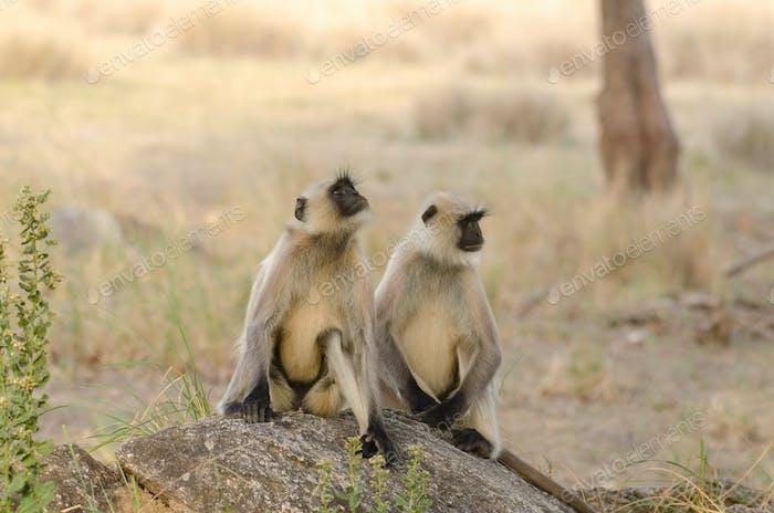 Langurs in the wild
