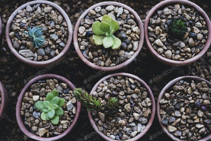 Hochwinkelnaher Nahaufnahme von Sukkulenten, die in Kies in Terrakottatöpfen gepflanzt werden.