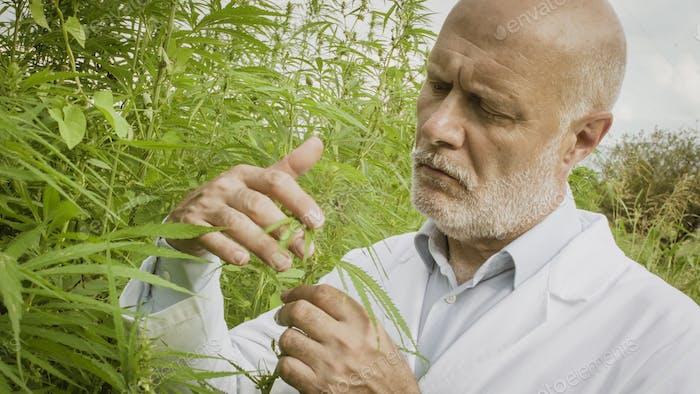 Wissenschaftler überprüfen Hanfpflanzen im Feld