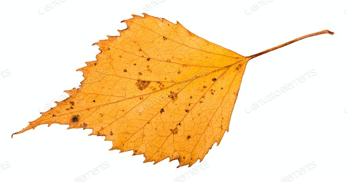 dried leaf of birch tree isolated on white