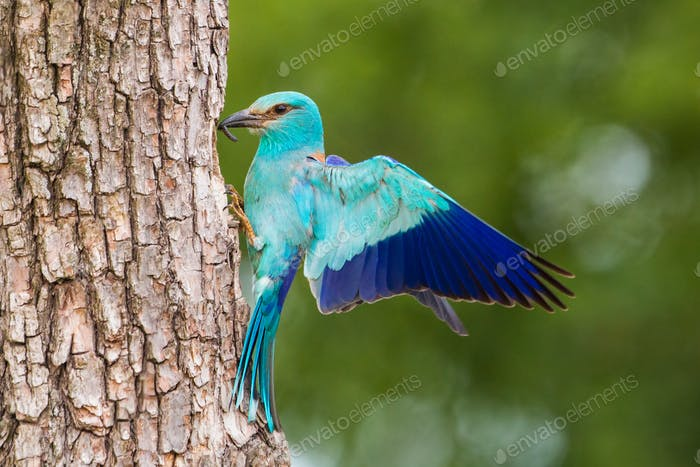 European roller sitting on bark of tree with spread wings in the summer