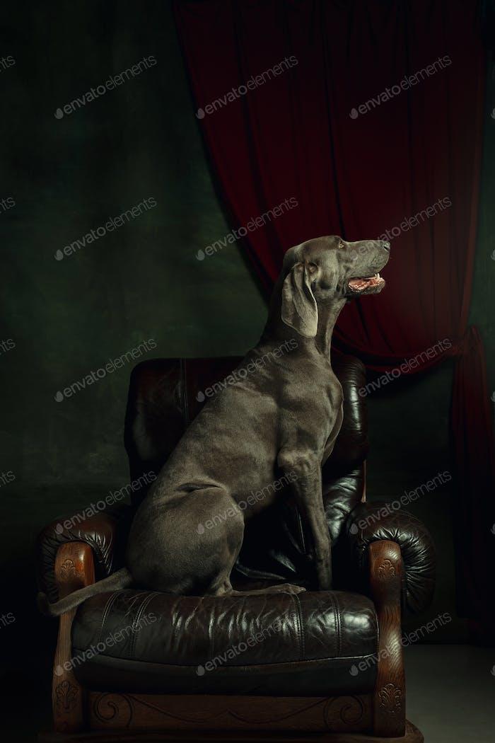 Студия выстрела из веймаранера собаки, как средневековый аристократ