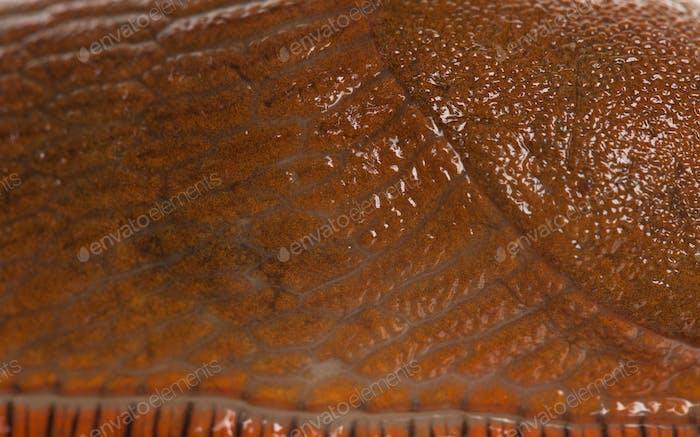 Close-up of Red slug skin, Arion rufus