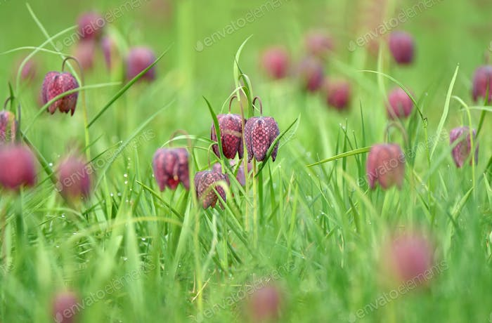 Snakes head fritillary flowers in a field