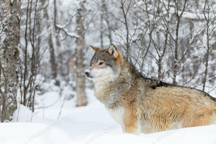 One beautiful wolf standing in the snow in beautiful winter forest