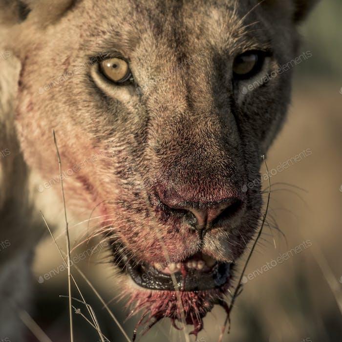 Female lion after dinner in Serengeti National Park