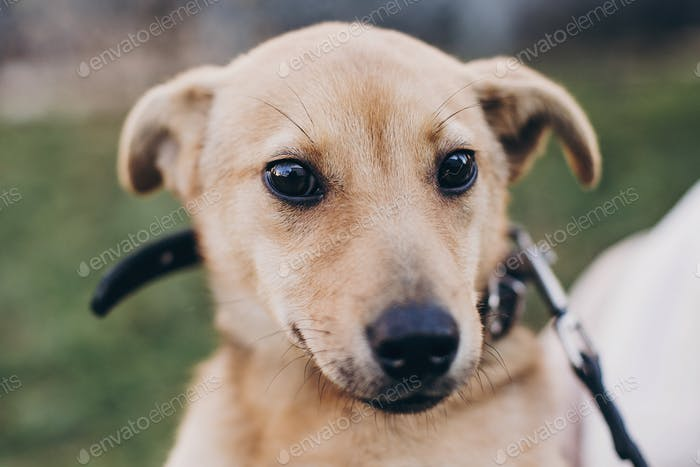 Cute golden puppy winking with black sad eyes and emotions