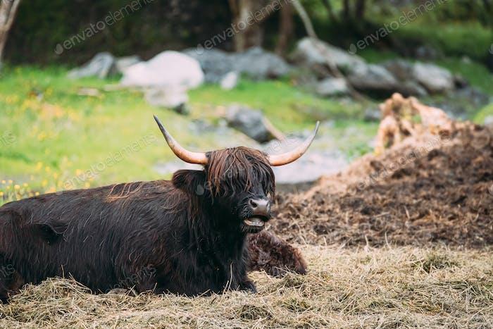 Black Highland Cattle Cow Graze On A Summer Livestock Pasture.
