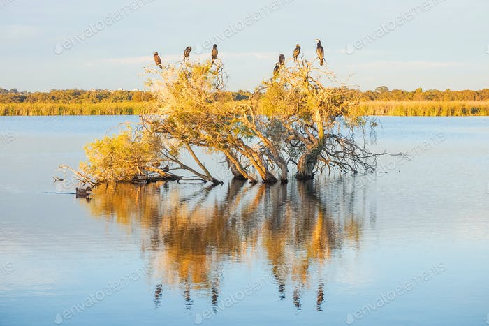 A Darter, Cormorants and Ducks