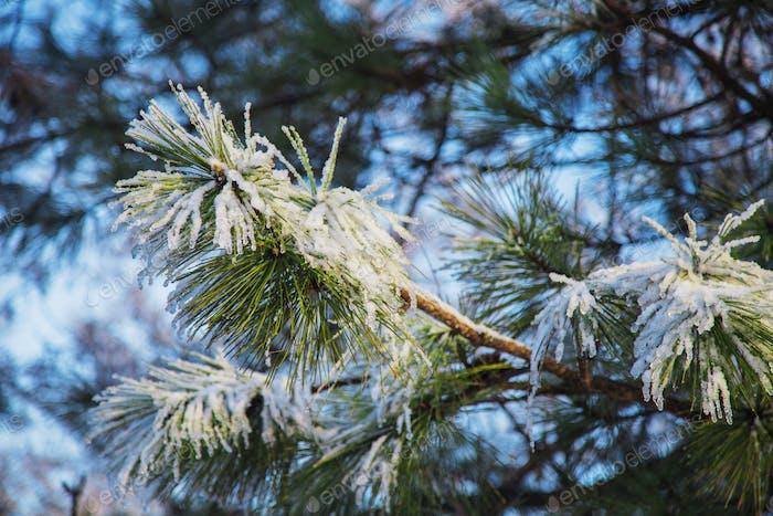 Frosty pine tree branch at daylight.