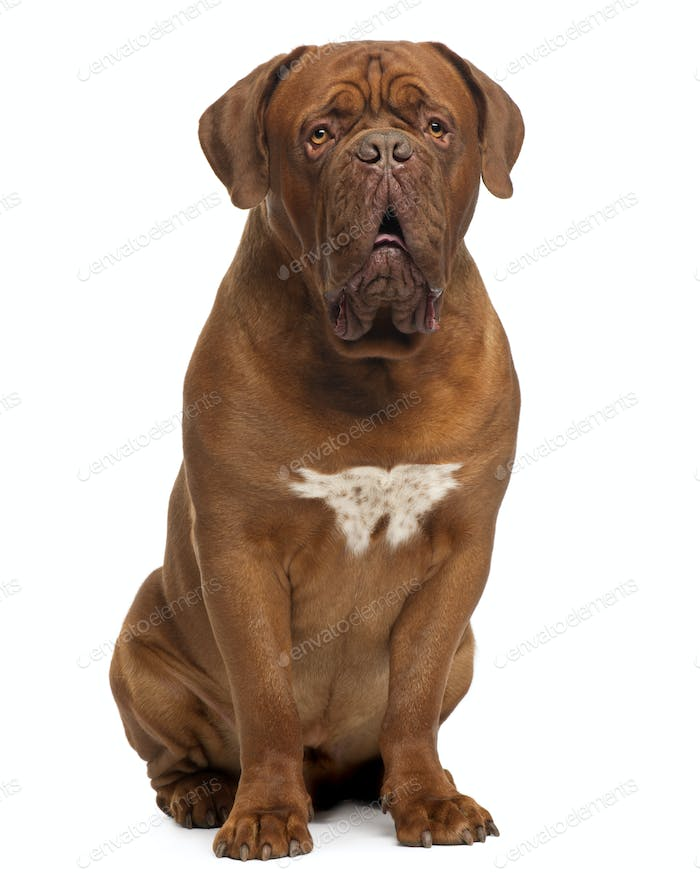 Dogue de Bordeaux, 20 months old, sitting in front of white background