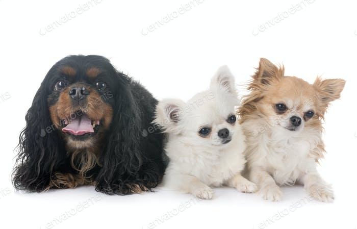 cavalier king charles and chihuahuas