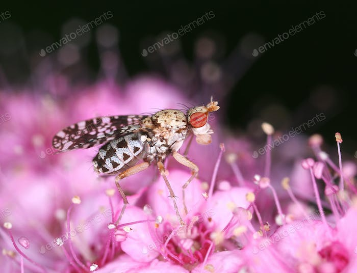 Marsh horn fly on pink flower macro