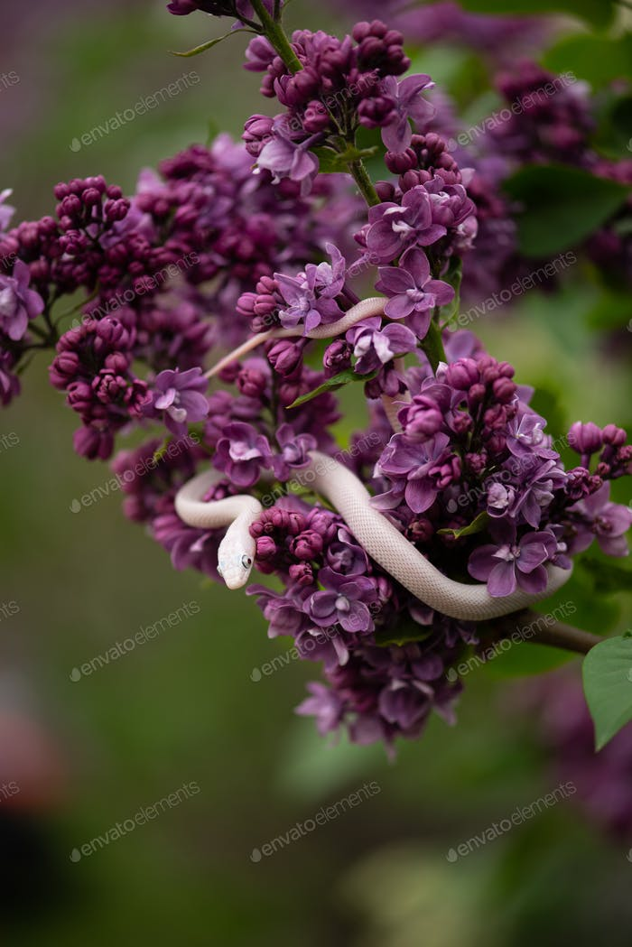 White Beauty rat snake creeping on lilac flowers