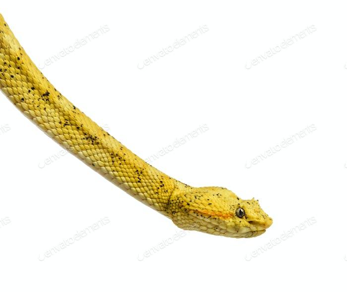Bothriechis schlegelii - Bothriechis schlegelii, the eyelash viper, is a venomous pit viper