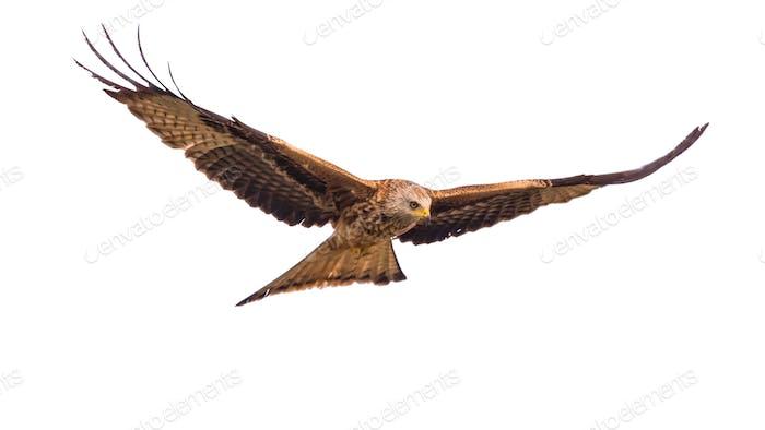 Flying red kite against white background