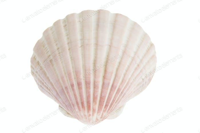 Muschel Muschel
