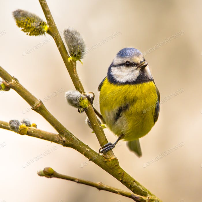Blue tit willow twig insta