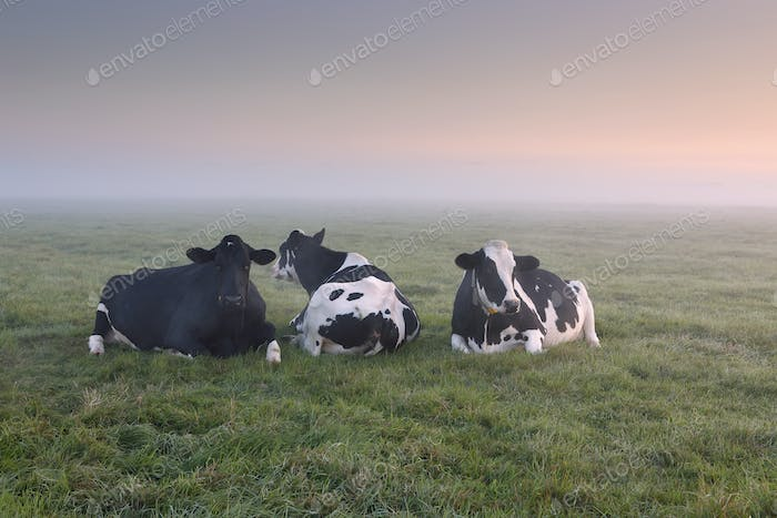 relaxed cows on pasture at misty sunrise