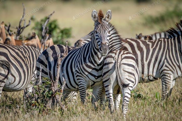 Zebra starring at the camera in Chobe.