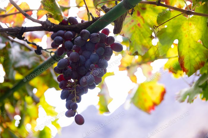 Close-Up Of Grape Bunch At Organic Vineyard Against Sun