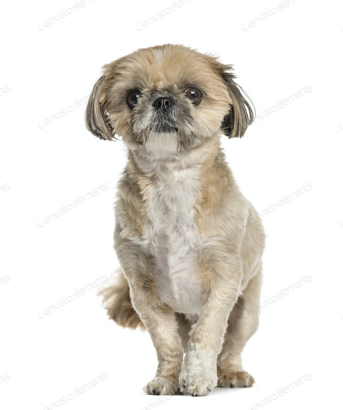 Lhasa apso standing, isolated on white