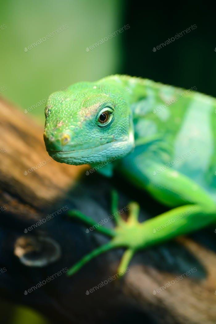 Grüne Eidechse, Fidschi Gebänderter Leguan