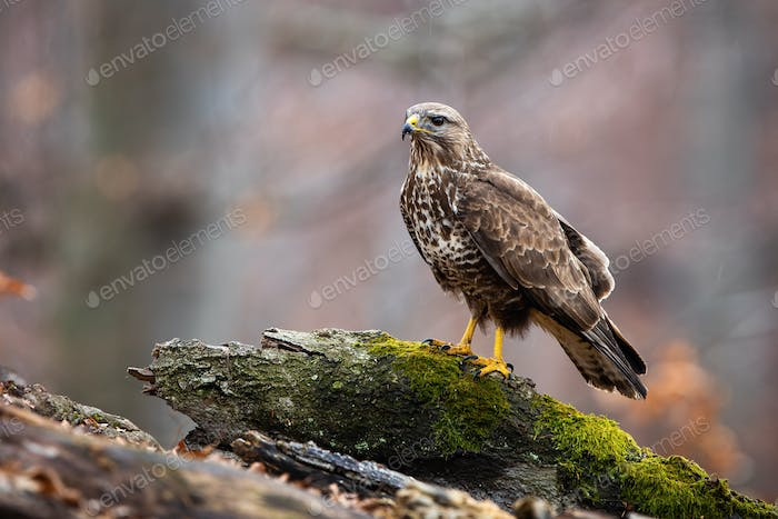Wild common buzzard on a tree stump in nature with copy space
