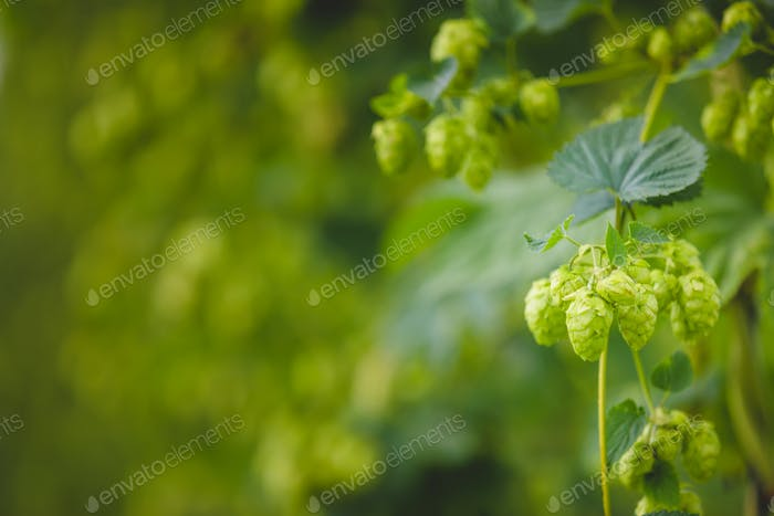 Close-up green hop plant branch with ripe cones.