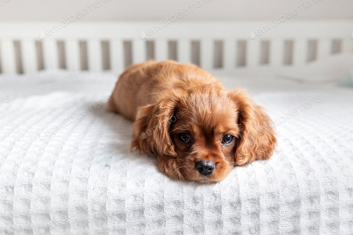 Puppy lying on the bed