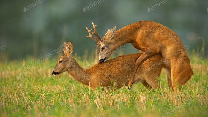 Roe deer couple copulating at evening light during summer rain