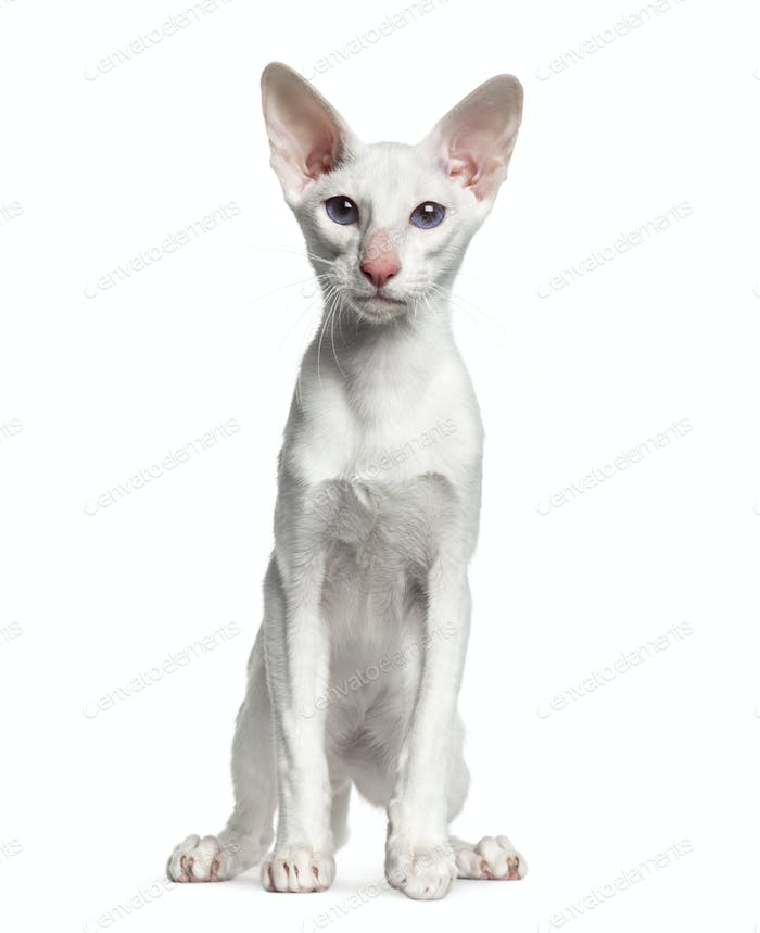Oriental Shorthair, sitting, isolated on white  (6 months old)