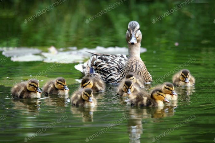 Mother duck with her ducklings