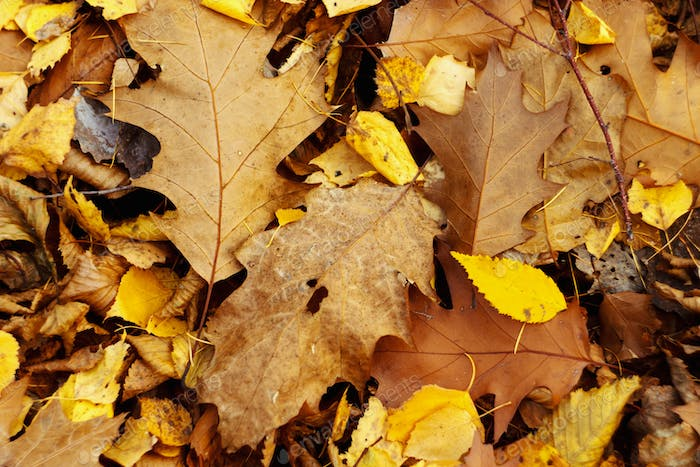 amazing beautiful yellow and brown autumn leaves