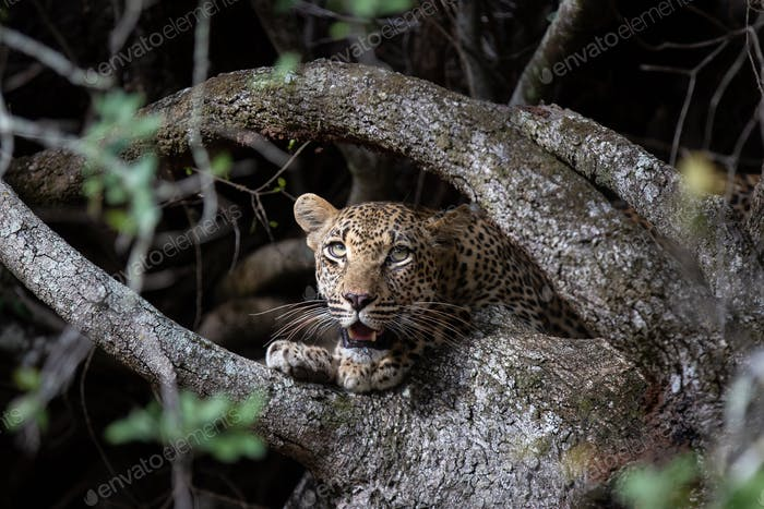 A leopard, Panthera pardus, peers between tree roots, looking out of frame, mouth open