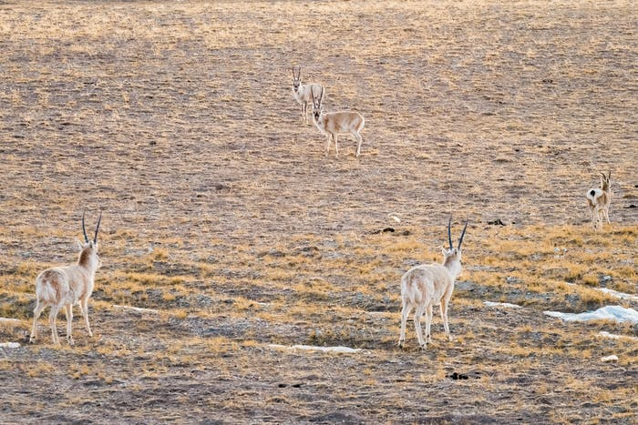 China tibetische Antilope