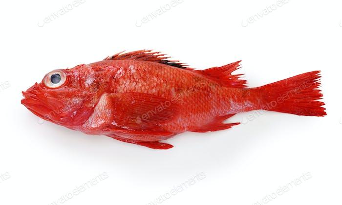 poisson idiot