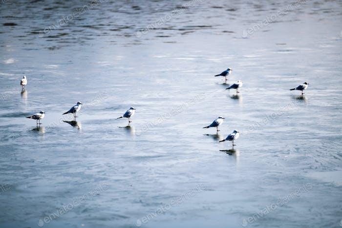 Flock of birds walking on frozen lake