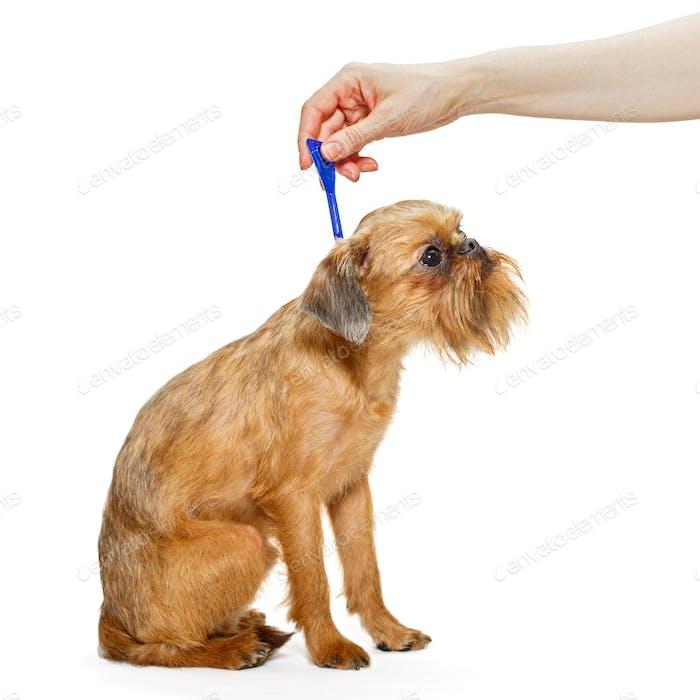Behandlung von Hunden für Flöhe und Zecken