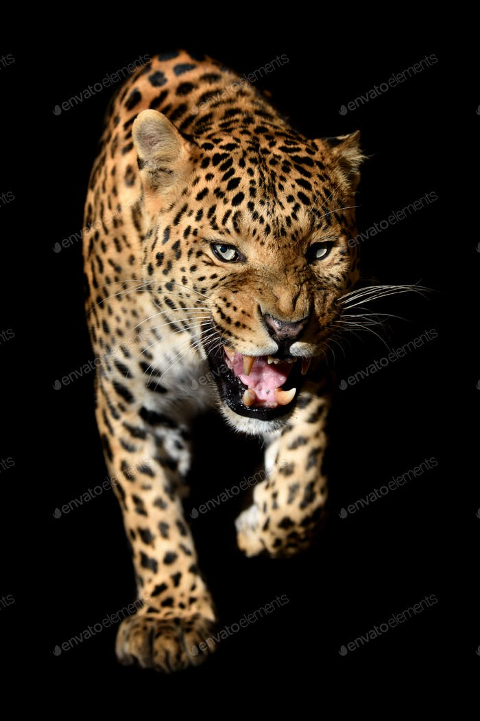 Close up angry big leopard isolated on black background