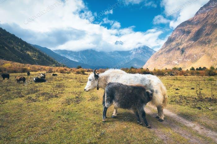Schöne weiße wilde Yak und erstaunliche Baby Yak auf Weide