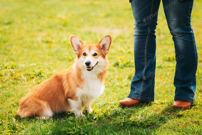 Welsh Corgi Dog Puppy Sitting At Feet Of Owner In Green Summer Grass