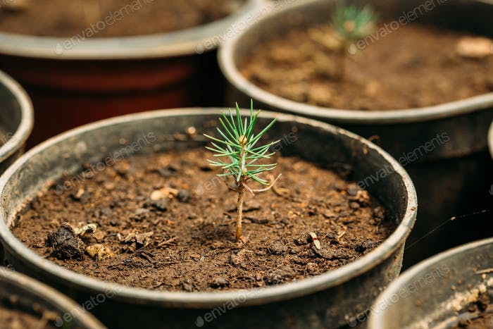 Green Sprouts Of Cedar Tree Plant With Leaf, Leaves Growing From