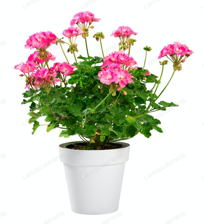 Potted Geranium zonale with bright pink flowers