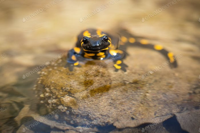Small fire salamander standing on stone in river with head just above water surface