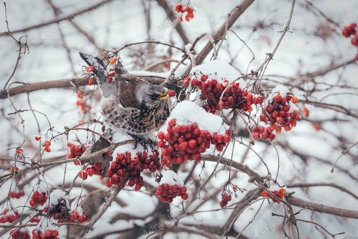 Fieldfare bird eating berries