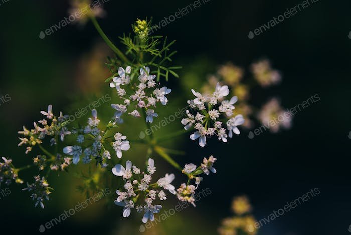 The tiny white flower of the coriander